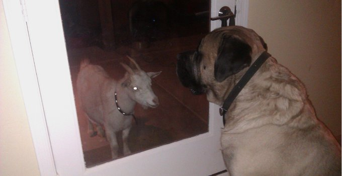 The Dog Who Stares at Goats