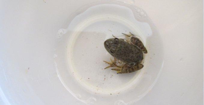 wild arizona frog
