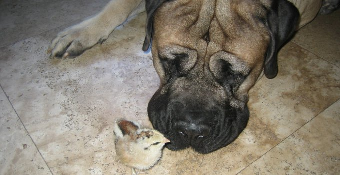 mastiff loves baby chick