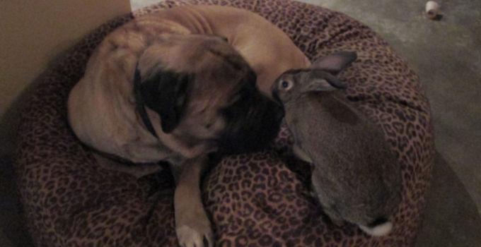 mastiff & bunny