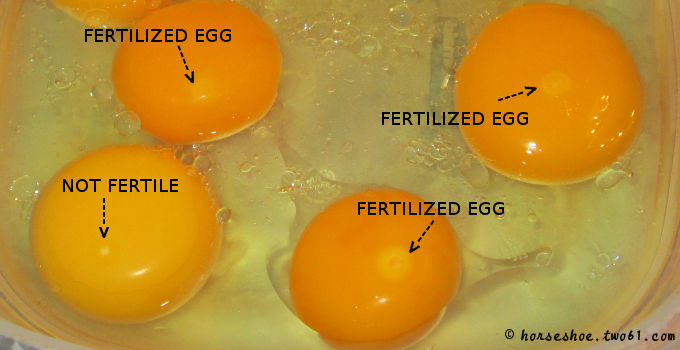 Image result for hen egg blastoderm