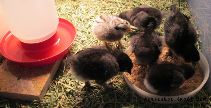 caring for new chicks