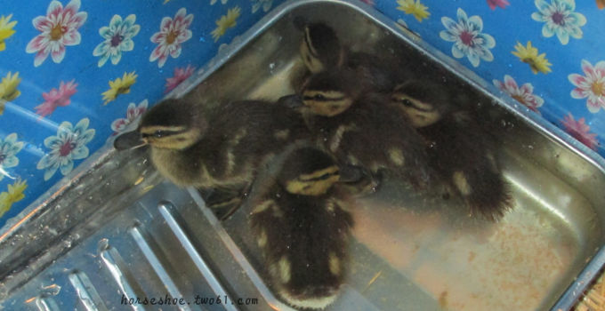 Orphaned Ducklings