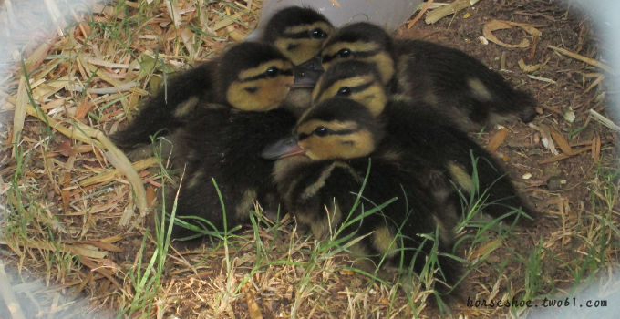 The Ducklings Are Getting Big!