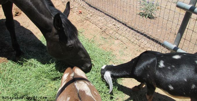 mustang & goats
