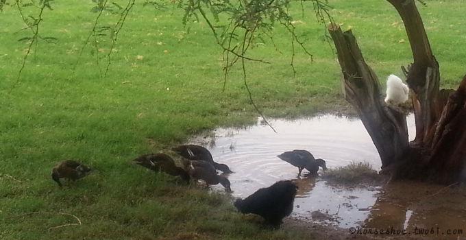 ducks & silkies