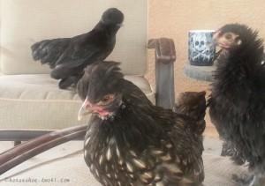Polish Silkie Frizzle Chicks