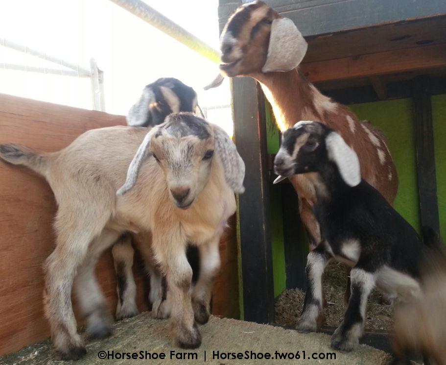 mini-nubian baby goats
