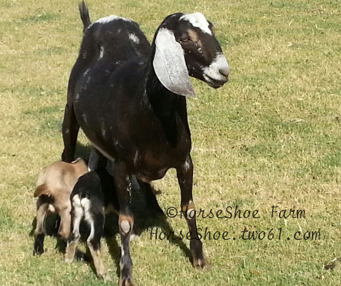 nursing baby goats