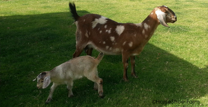 mini nubian goat kids