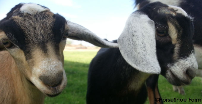 Yep. Even more baby goat pics.