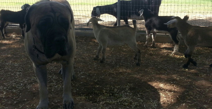 mastiff & baby goats