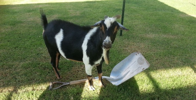 "Goats ""Helping"" with Projects"