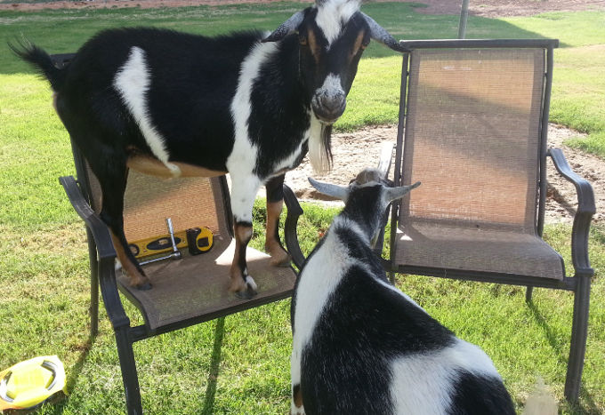goats helping with projects