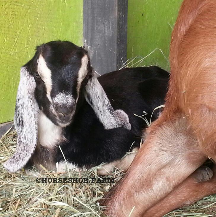 branson | baby nubian goat