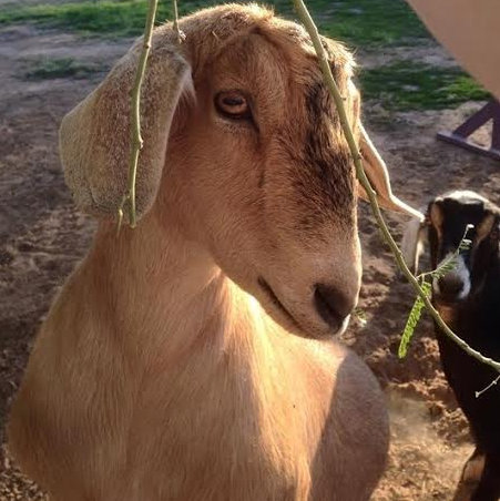 adoptable mini-nubian goats